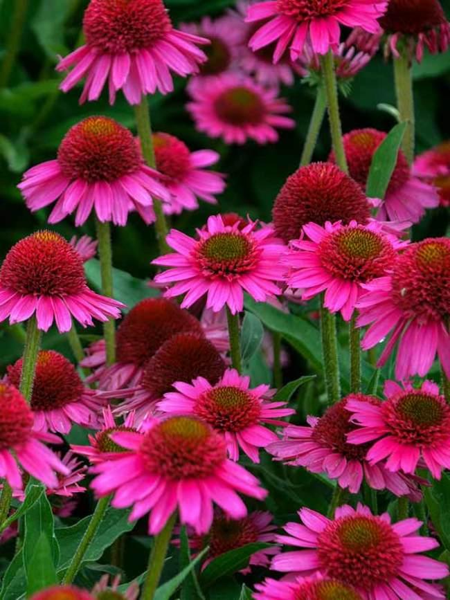 Flori de Echinacea