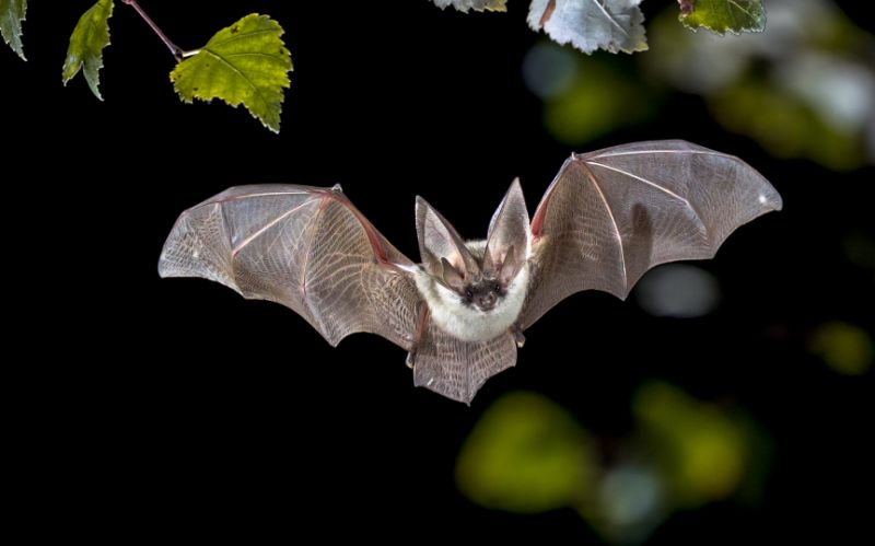 Researchers Uncover Why Viruses From Bats Such As