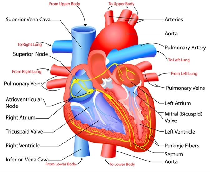 Structure and Function of the Heart - Thailand Medical News